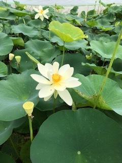 花はす広場とらんざんラベンダーまつり_b0007425_12251025.jpg