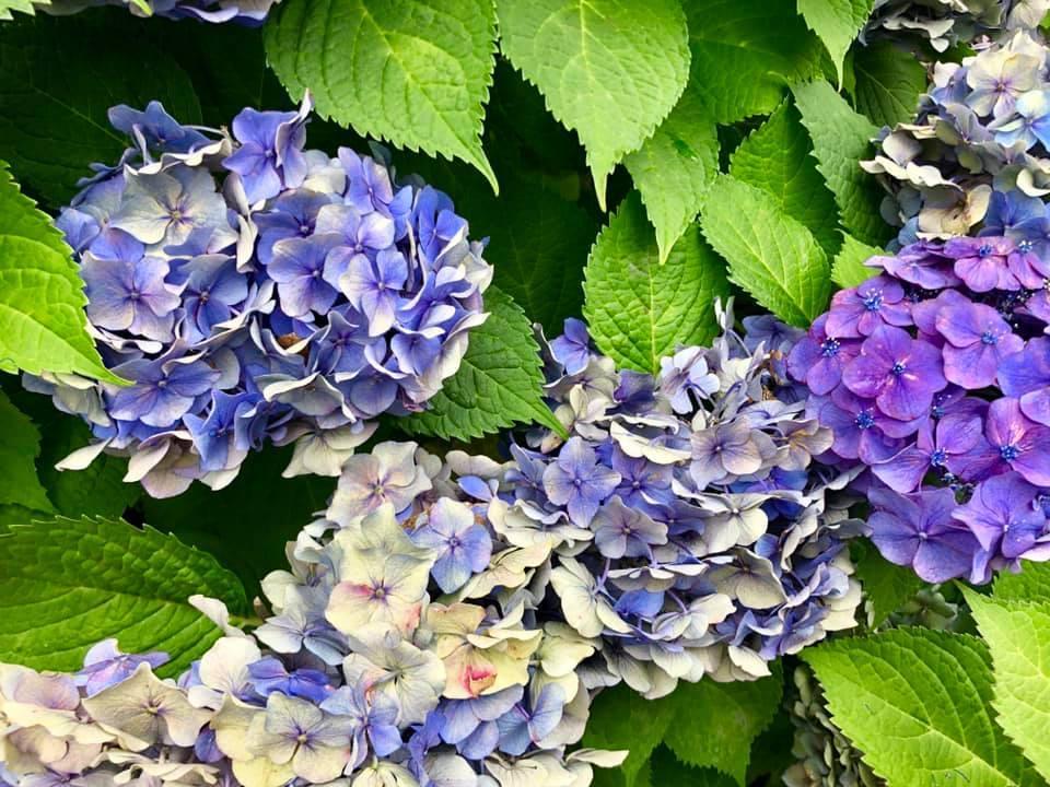 *紫陽花*_e0197227_14283106.jpg