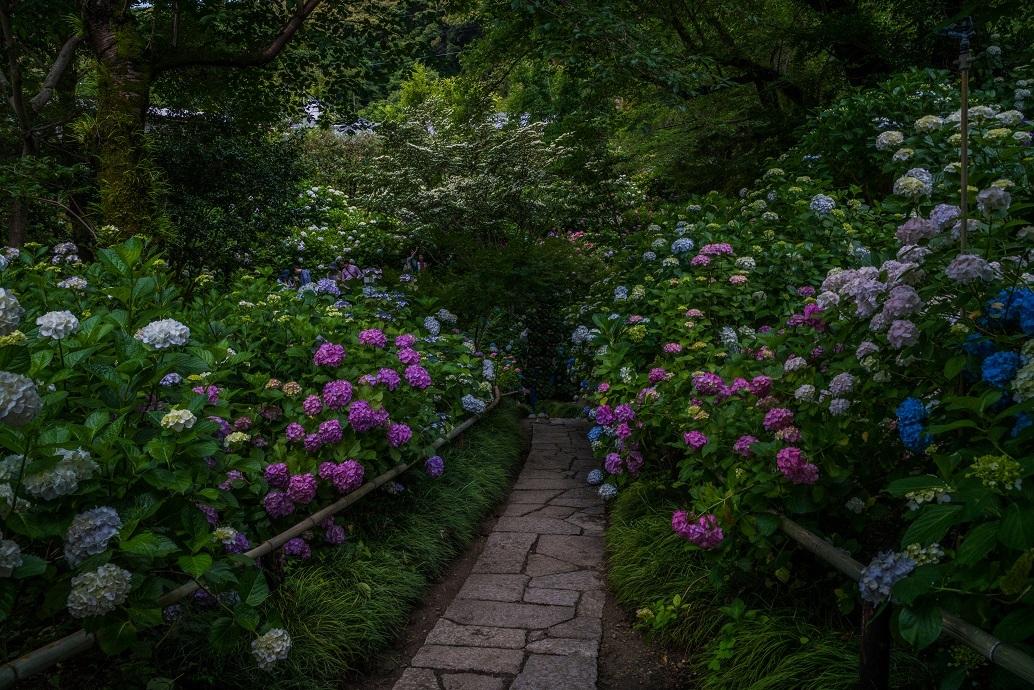矢田寺の紫陽花_e0363038_11242521.jpg