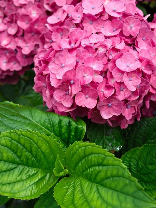 農的庭の花・・・アジサイカット&パーマ_d0005250_1754136.jpg