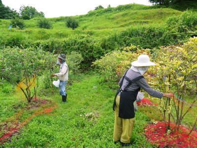 フレッシュブルーベリー再出荷決定!おしどり夫婦がそろって収穫再開しました!_a0254656_15405679.jpg