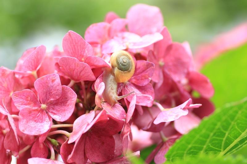 紫陽花とカタツムリ・♪ ~探検ちぅ~_a0167759_175481.jpg