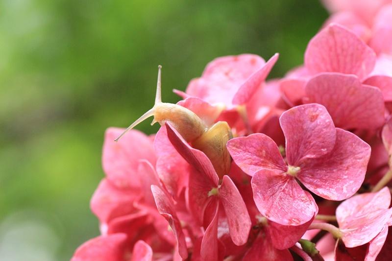 紫陽花とカタツムリ・♪ ~探検ちぅ~_a0167759_1755927.jpg