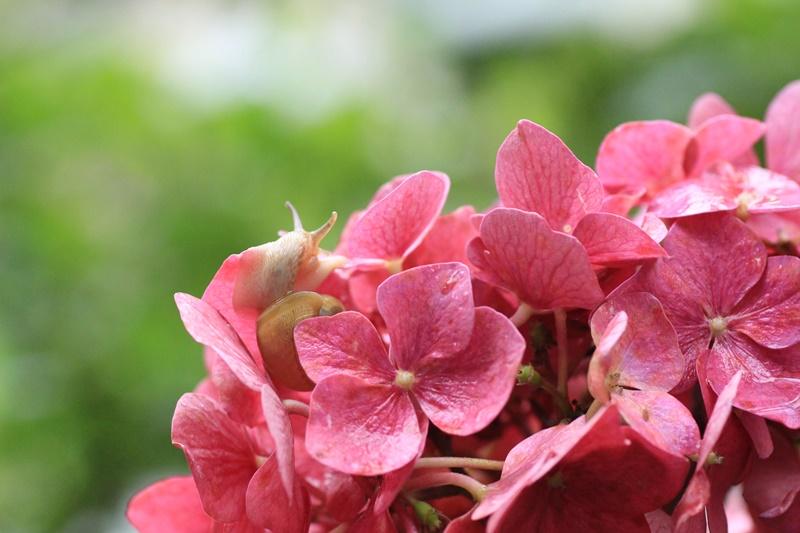 紫陽花とカタツムリ・♪ ~探検ちぅ~_a0167759_17571321.jpg