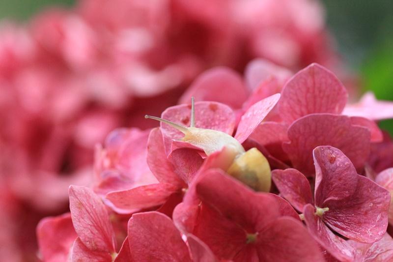紫陽花とカタツムリ・♪ ~探検ちぅ~_a0167759_17573262.jpg