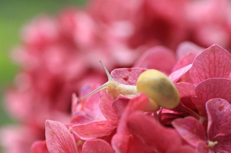 紫陽花とカタツムリ・♪ ~探検ちぅ~_a0167759_17575419.jpg