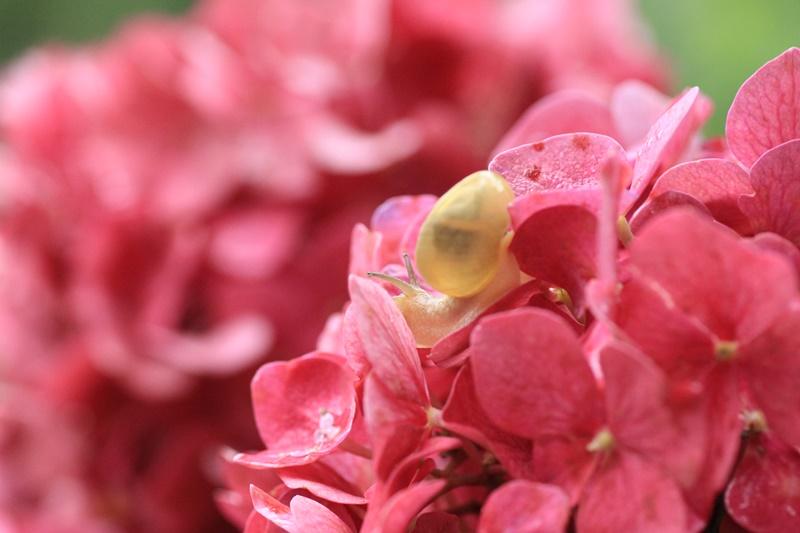 紫陽花とカタツムリ・♪ ~探検ちぅ~_a0167759_17582949.jpg