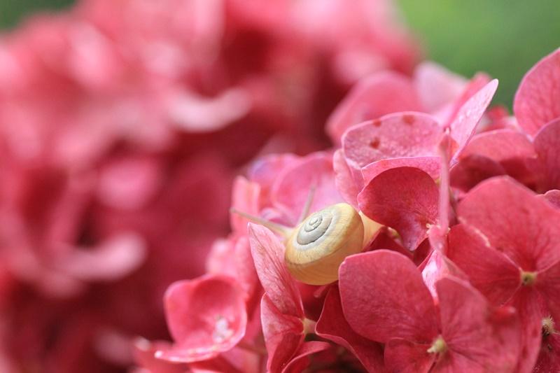 紫陽花とカタツムリ・♪ ~探検ちぅ~_a0167759_1758465.jpg