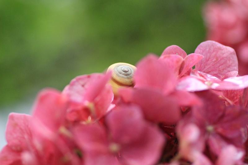 紫陽花とカタツムリ・♪ ~探検ちぅ~_a0167759_17593472.jpg