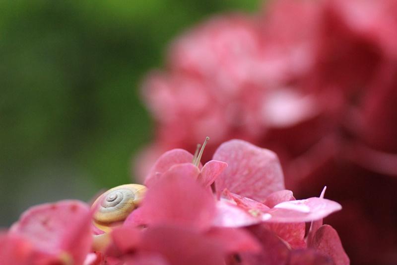 紫陽花とカタツムリ・♪ ~探検ちぅ~_a0167759_17595514.jpg