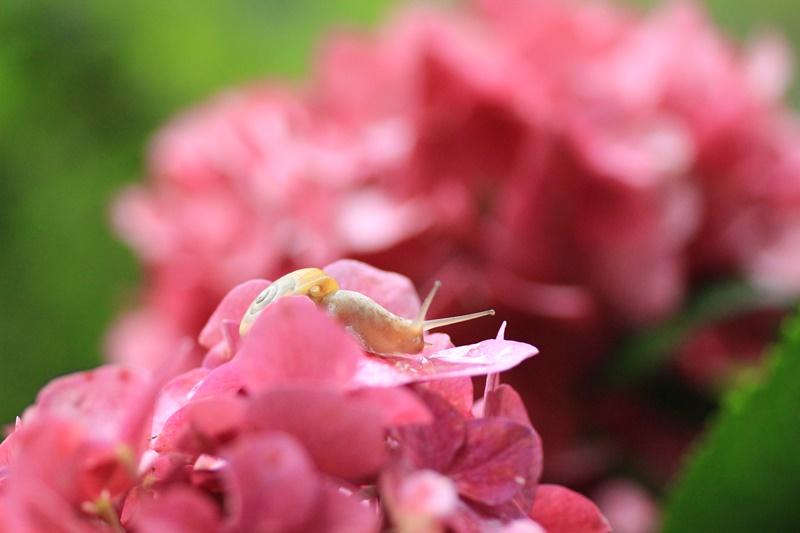紫陽花とカタツムリ・♪ ~探検ちぅ~_a0167759_1804029.jpg