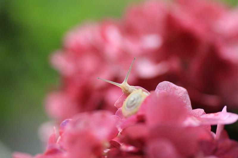 紫陽花とカタツムリ・♪ ~探検ちぅ~_a0167759_181229.jpg