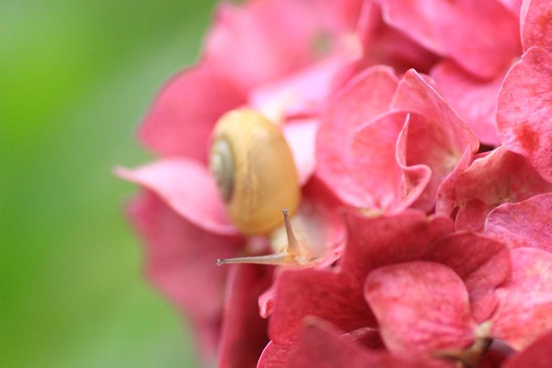 紫陽花とカタツムリ・♪ ~探検ちぅ~_a0167759_182484.jpg