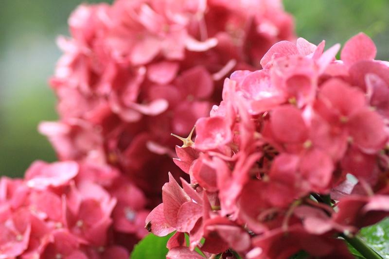 紫陽花とカタツムリ・♪ ~探検ちぅ~_a0167759_1833812.jpg