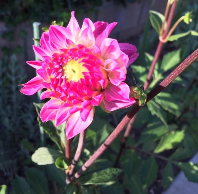 蕾から花へータチアオイ、ダリア、トルコ桔梗_e0350971_12463923.jpg