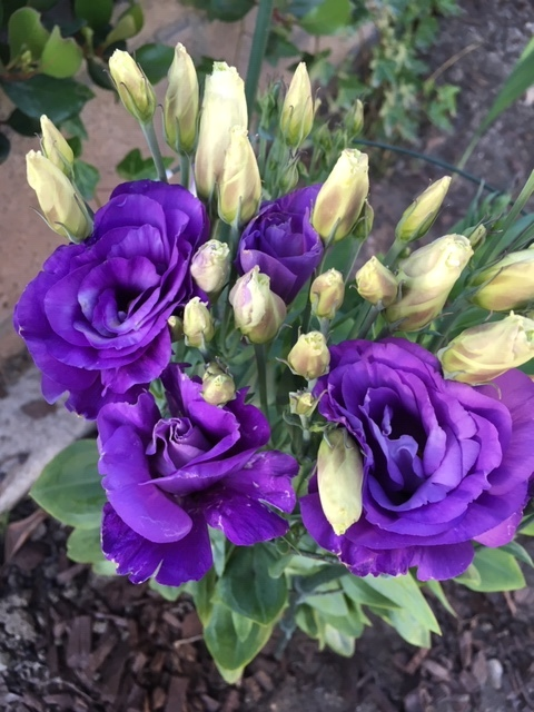 蕾から花へータチアオイ、ダリア、トルコ桔梗_e0350971_12513129.jpg