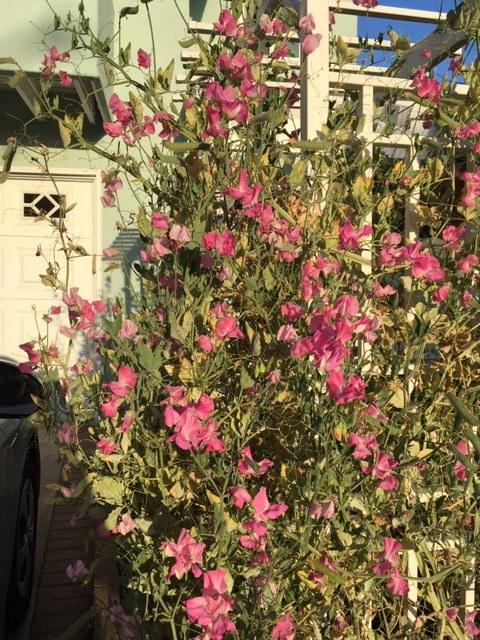 蕾から花へータチアオイ、ダリア、トルコ桔梗_e0350971_12522497.jpg