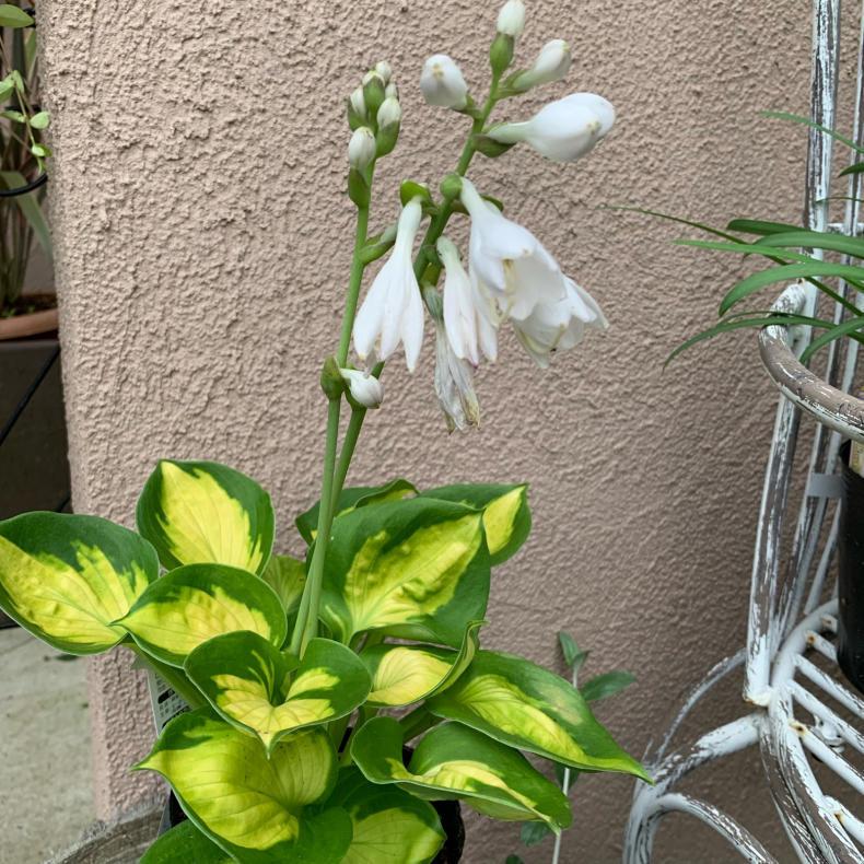 蒸し暑いシーズンの涼しげな花たち、ユリ科_a0139105_16115560.jpg