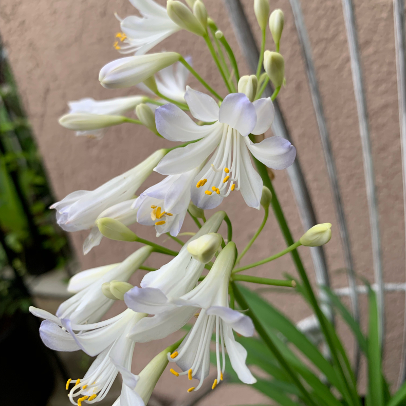 蒸し暑いシーズンの涼しげな花たち、ユリ科_a0139105_16163437.jpg