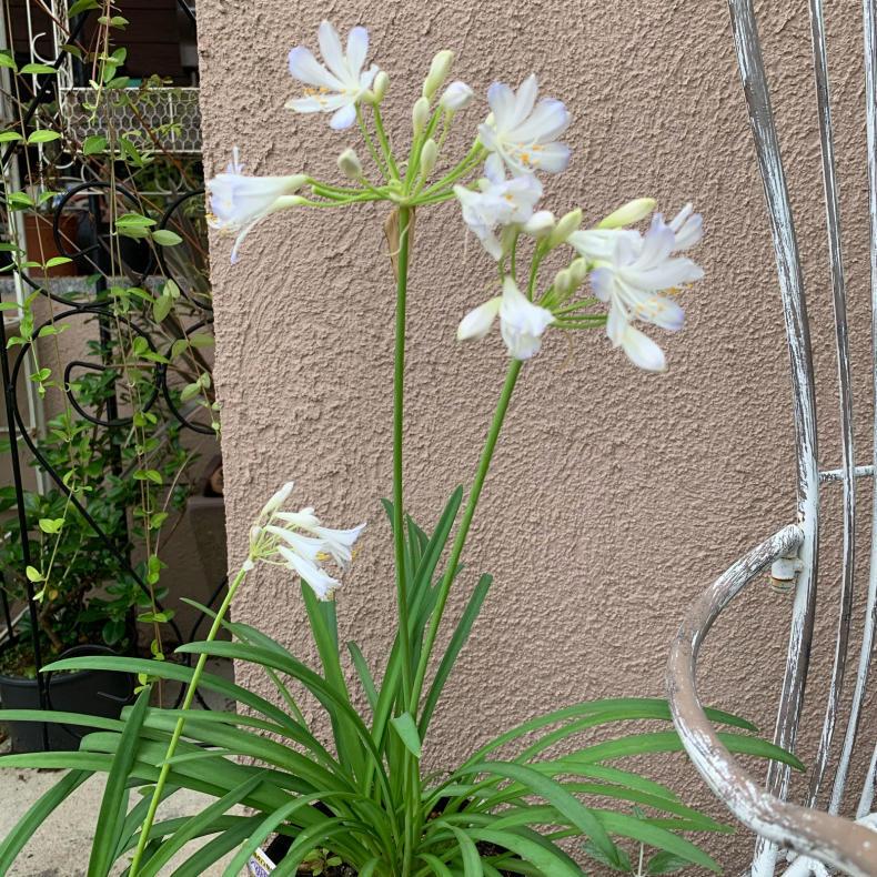 蒸し暑いシーズンの涼しげな花たち、ユリ科_a0139105_16211103.jpg