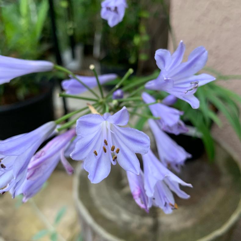 蒸し暑いシーズンの涼しげな花たち、ユリ科_a0139105_16225883.jpg