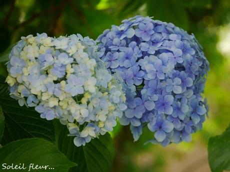 青のハーモニーが聴こえる季節☆_c0098807_21484099.jpg