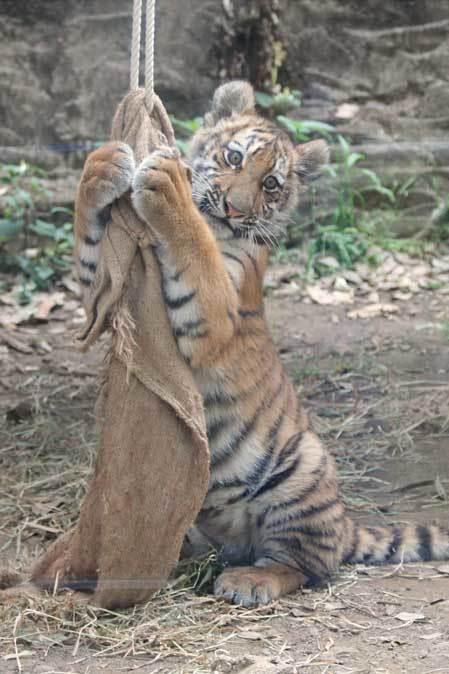 元気いっぱい!アムールトラっ仔「ショウヘイ」!!(多摩動物公園)_b0355317_22135473.jpg