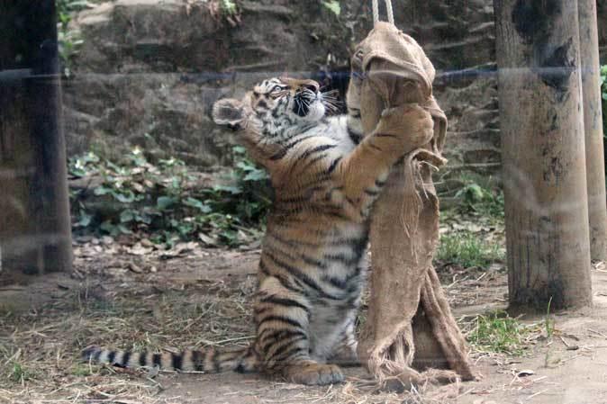 元気いっぱい!アムールトラっ仔「ショウヘイ」!!(多摩動物公園)_b0355317_22151744.jpg