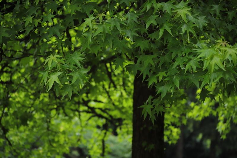 モミジバフウ~雨~_e0169421_21211880.jpg