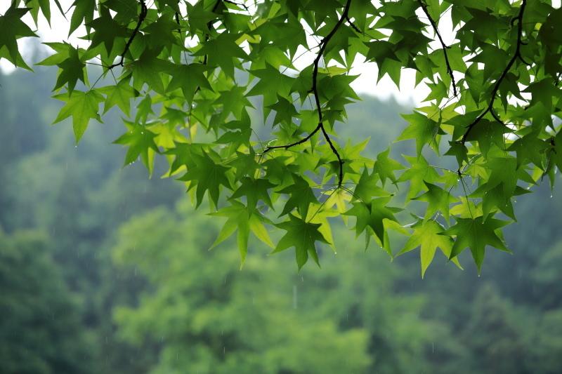 モミジバフウ~雨~_e0169421_21211986.jpg