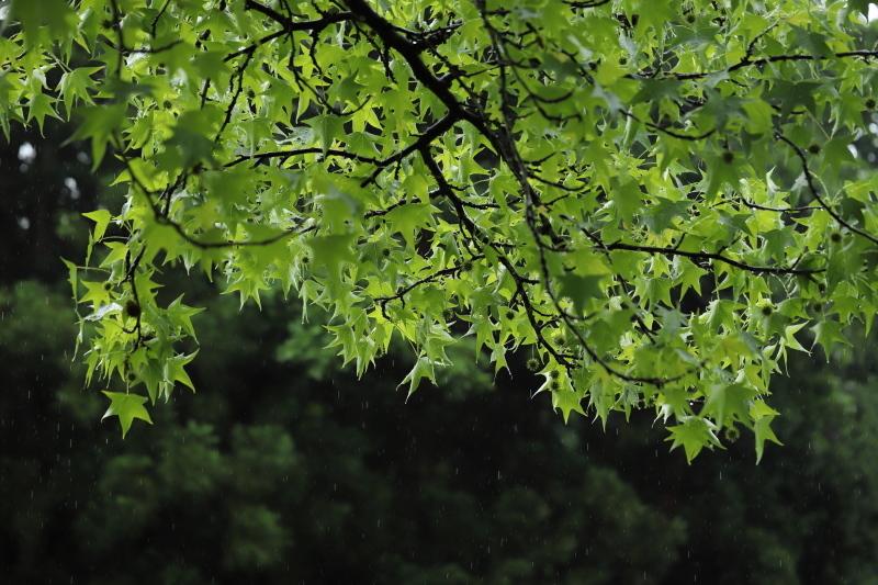 モミジバフウ~雨~_e0169421_21212066.jpg