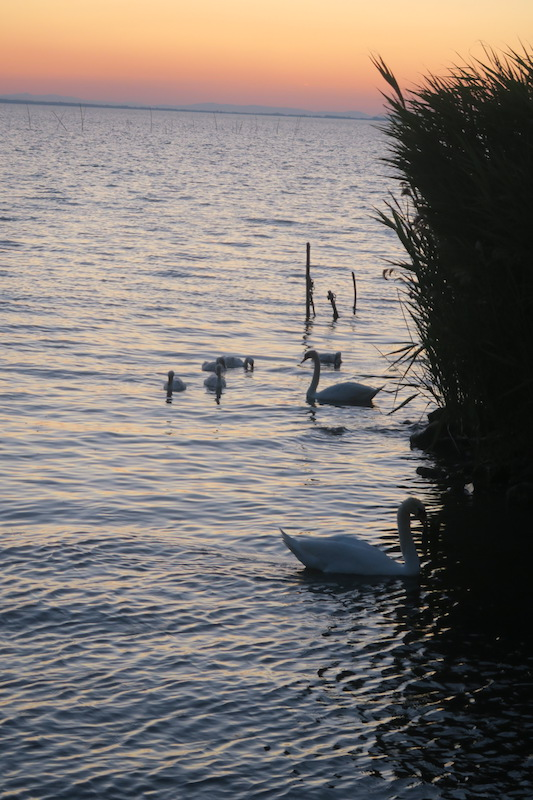 白鳥の親子たそがれのトラジメーノ湖に_f0234936_548620.jpg