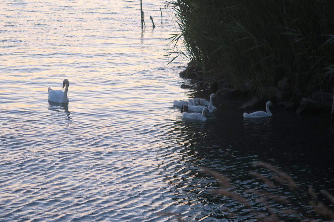 白鳥の親子たそがれのトラジメーノ湖に_f0234936_5492087.jpg