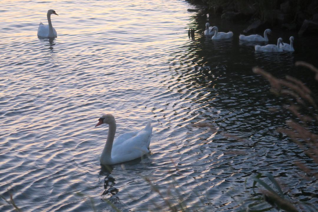 白鳥の親子たそがれのトラジメーノ湖に_f0234936_5522283.jpg