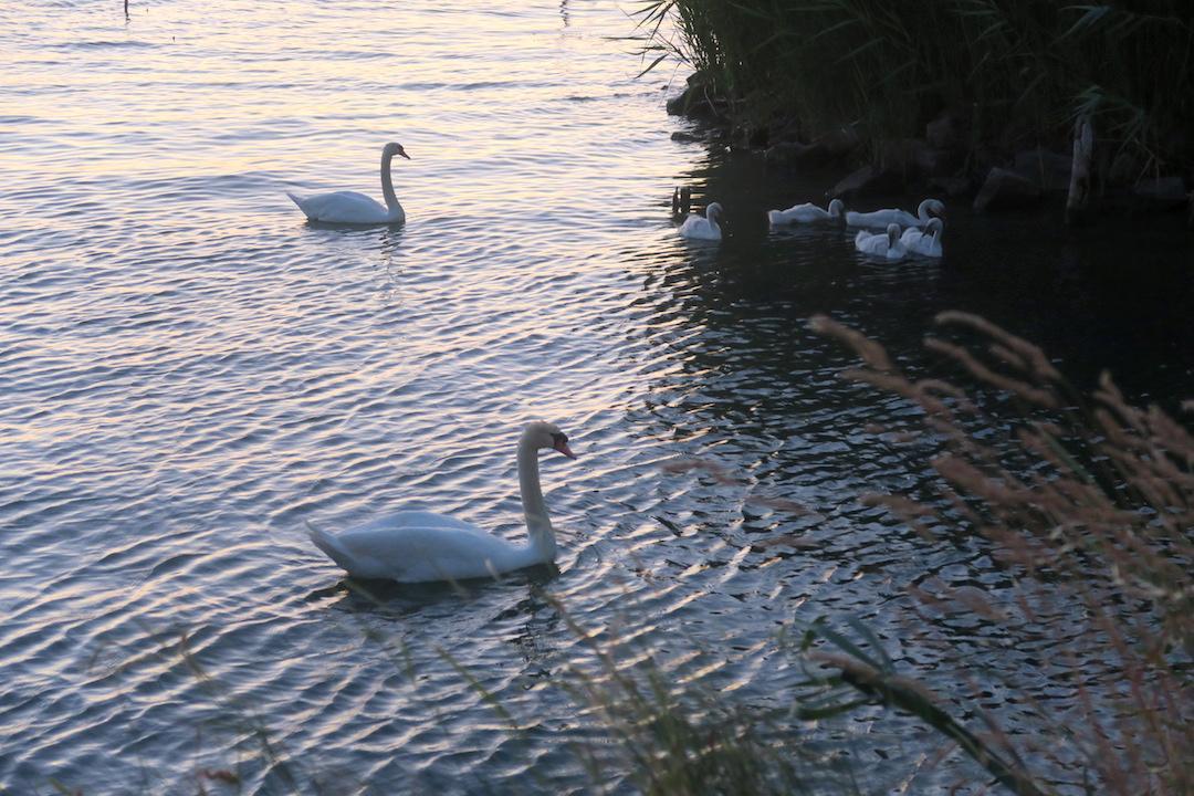白鳥の親子たそがれのトラジメーノ湖に_f0234936_5541955.jpg