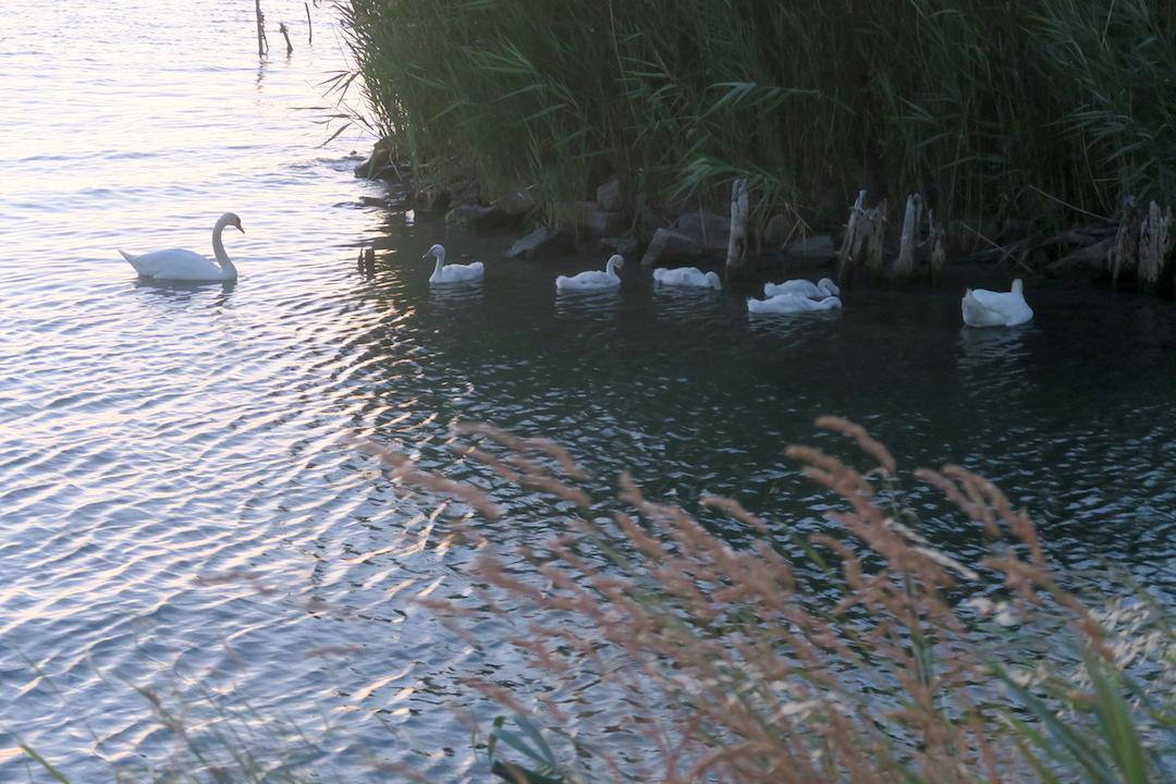 白鳥の親子たそがれのトラジメーノ湖に_f0234936_55595.jpg