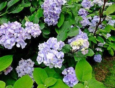 矢田寺の紫陽花とカサブランカ♪_b0194861_18195390.jpg