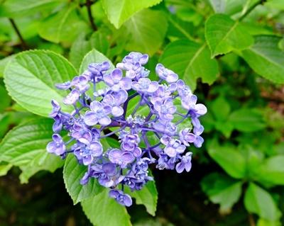 矢田寺の紫陽花とカサブランカ♪_b0194861_18203960.jpg