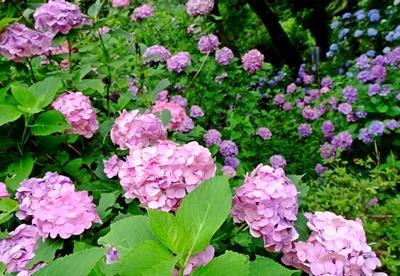 矢田寺の紫陽花とカサブランカ♪_b0194861_18210817.jpg