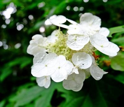 矢田寺の紫陽花とカサブランカ♪_b0194861_18213048.jpg