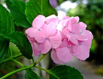 矢田寺の紫陽花とカサブランカ♪_b0194861_18223066.jpg