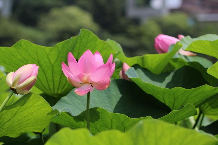 千葉公園の大賀ハス♪ 5_d0152261_12333431.jpg