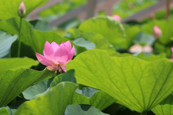 千葉公園の大賀ハス♪ 5_d0152261_12334824.jpg