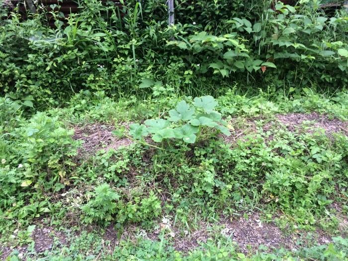 梅雨に入った畑_b0057979_22132933.jpg