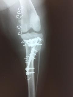 両側の前十字靭帯断裂に対してTTA手術を行い良好な回復が得れました。_b0350282_20592810.jpg