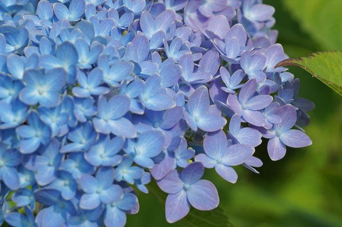 紫陽花・・2_d0162994_09493307.jpg