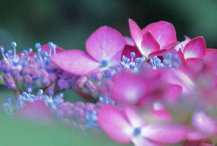 紫陽花・・2_d0162994_09514610.jpg