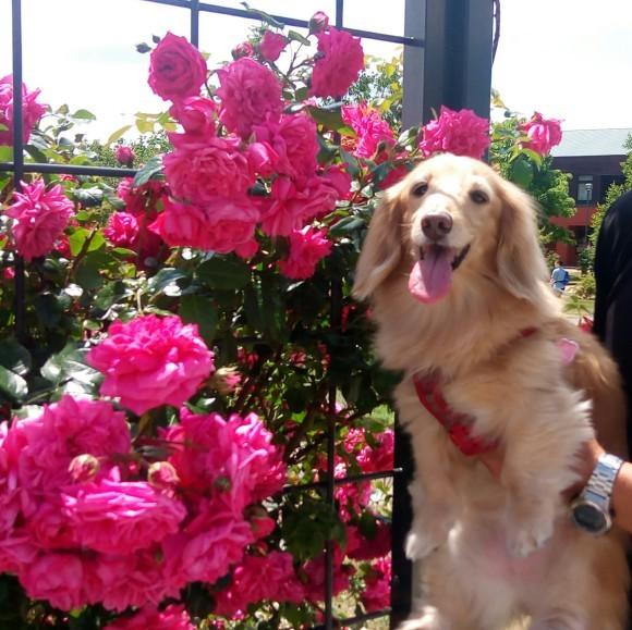 薔薇園のバラが満開_e0250234_13163206.jpg