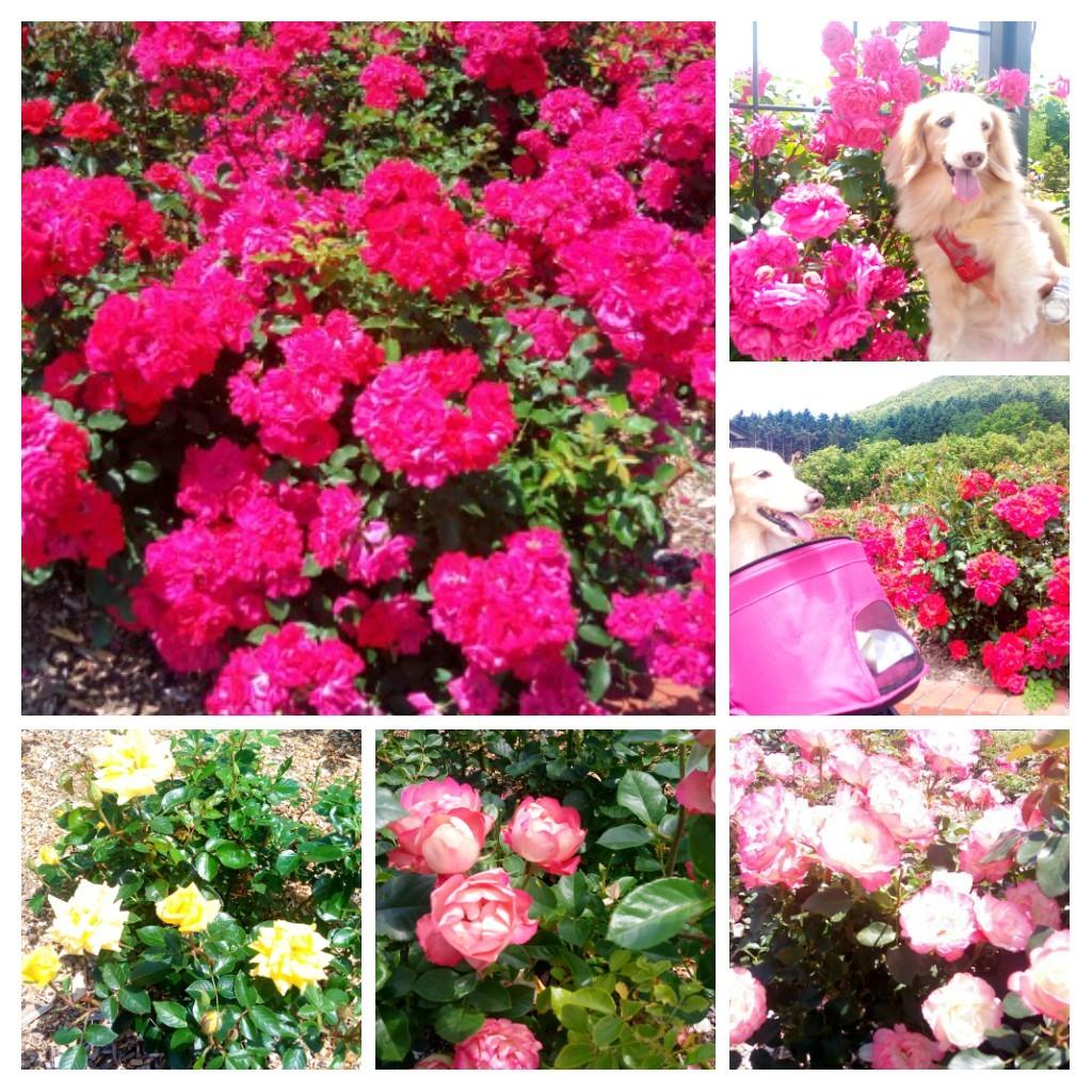 薔薇園のバラが満開_e0250234_13223120.jpg