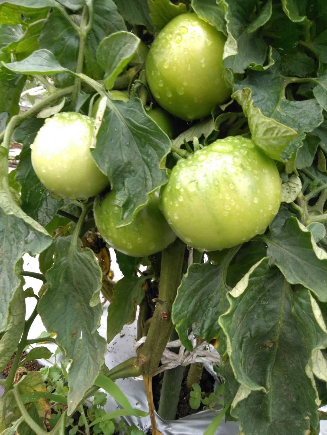 草刈り殆ど トマトや茄子の下葉切り取り 畝間の雑草取り・・_c0222448_13285827.jpg